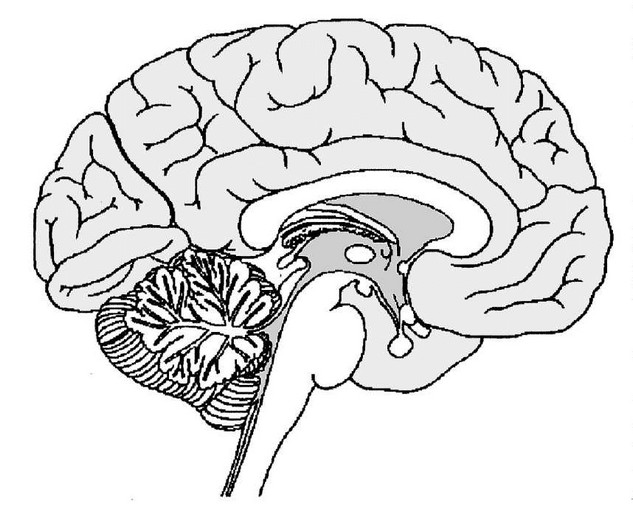 Brain cross section diagram unlabeled ccuart Images